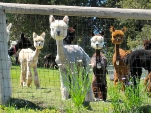 Alpaca's in CA